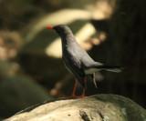 Red-legged Thrush - Turdus plumbeus