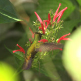 Antillean Crested Hummingbird - Orthorhyncus cristatus