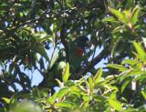 Red-necked Parrot - Amazona arausiaca