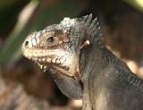 Lesser Antillean Iguana - Iguana delicatissima