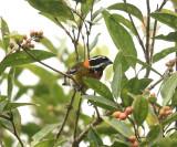 Puerto Rican Spindalis - Spindalis portoricensis