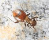 Elliptical Barklice - Epipsocidae