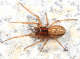 Pachygnatha tristriata