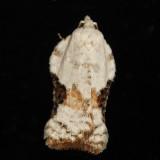 3517 - Bent-wing Acleris - Acleris subnivana