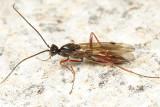 Proctotrupes caudatus (male)