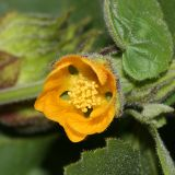 Indian Mallow - Abutilon theophrasti