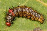 8010 - Red-humped Caterpillar - Schizura concinna