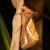8952 -- Connected Looper Moth -- Plusia contexta