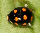 Lady Beetles - Genus Brachiacantha