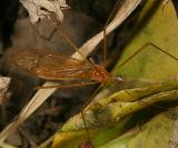 Pseudolimnophila sp.