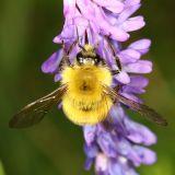 Confusing Bumble Bee - Bombus perplexus