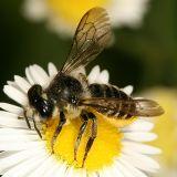 Megachile relativa