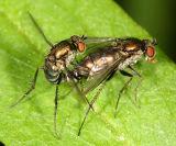 Dolichopus sp. (mating pair)