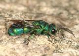 Cuckoo Wasps - Chrysididae