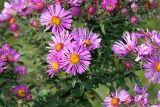 New England Asters - Symphyotrichum novae-angliae