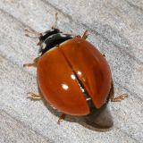 Polished Lady Beetle - Cycloneda munda