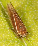 Idiodonus kennecottii