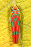 Leafhoppers - Cicadellidae