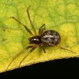 Linyphiinae