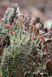 British Soldier lichen - Cladonia cristatella