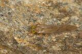 Xanthocaecilius quillayute