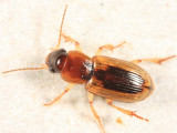 Stenolophus lecontei