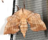7827 -- Walnut Sphinx Moth -- Laothoe juglandis