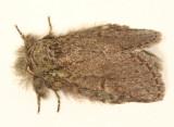 7994 - Saddled Prominent - Heterocampa guttivitta