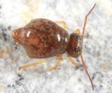 Pseudobourletiella spinata