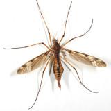 female Sooty Crane Fly - Tipula fuliginosa