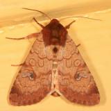 10265 - Rosewing - Sideridis rosea