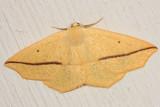 6963 - Yellow Slant-Line - Tetracis crocallata