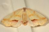6840 -- Lemon Plagodis Moth -- Plagodis serinaria