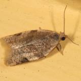 3689 - Clepsis virescana