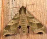 7885 - Virginia Creeper Sphinx Moth – Darapsa myron