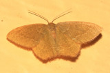 7084 -- Pistachio Emerald Moth -- Hethemia pistasciaria