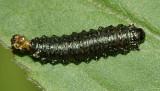 Trirhabda sp. larva