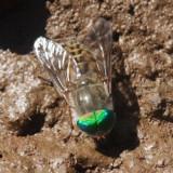 Tabanus laticornis