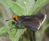 Orange-headed Roadside-Skipper - Amblyscirtes phylace