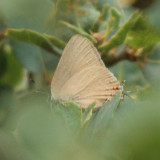 Ilavia Hairstreak - Satyrium ilavia
