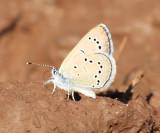 Silvery Blue - Glaucopsyche lygdamus