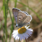 Arctic Blue - Plebejus glandon