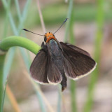 Orange-headed Roadside-Skipper - Amblyscirtes phylace