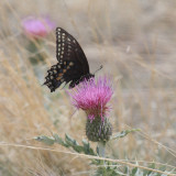 female Baird's Old World Swallowtail - Papilio machaon bairdii