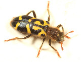 Ornate Checkered Beetle - Trichodes ornatus