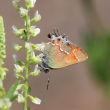 Siva Juniper Hairstreak - Callophrys gryneus siva