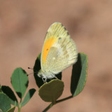 Dainty Sulphur - Nathalis iole