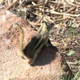 Golden-mantled Ground Squirrel - Spermophilus lateralis