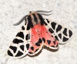 Arizona & California Moths