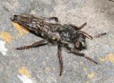 Heteropogon sp.